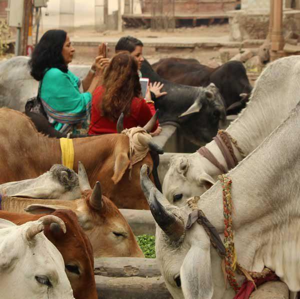 Blog Viagem Para Índia As Vacas e Costumes Indianos